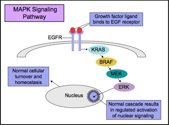 Apmg Melanoma Molecular Pathways